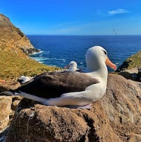 Falkland Islands black-browed albatross